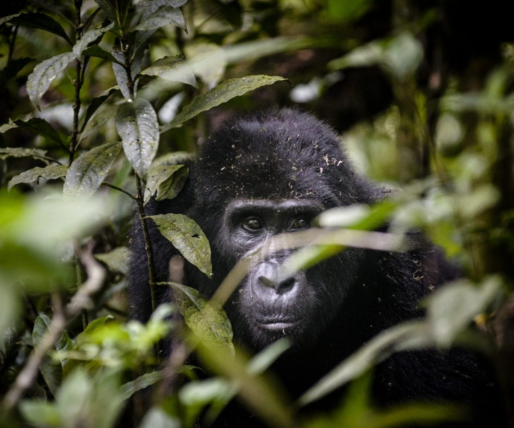 Uganda, Sanctuary Gorilla Forest Camp