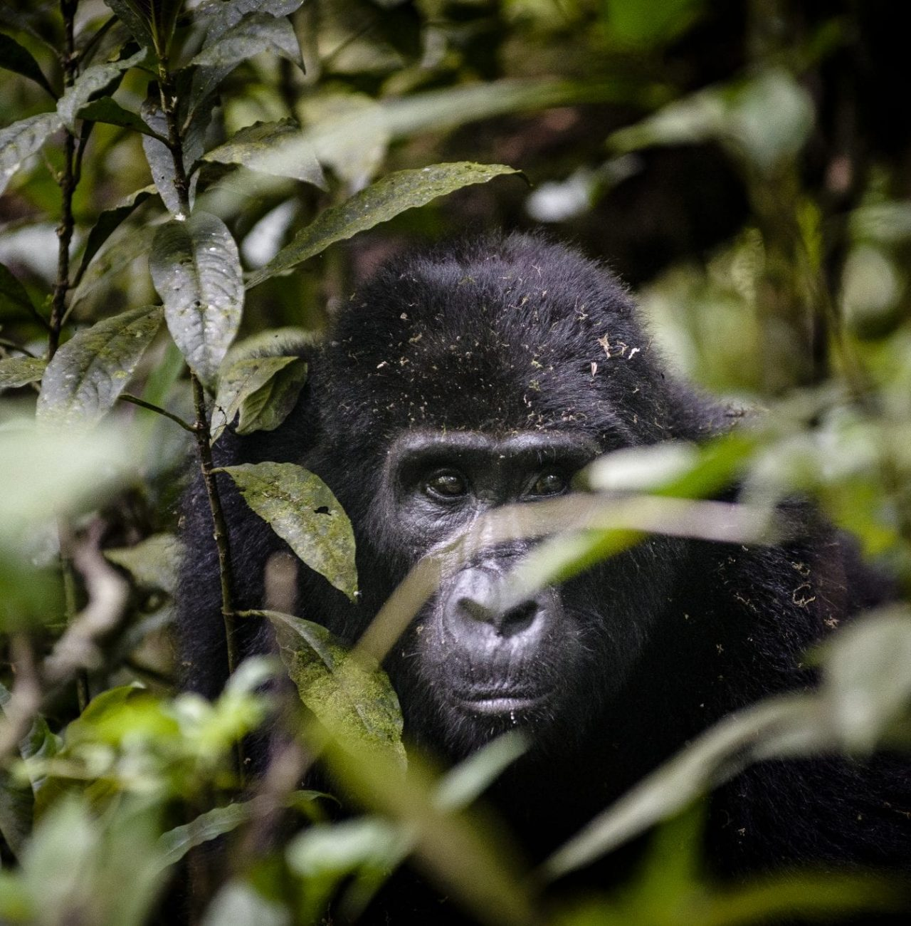 Uganda, Sanctuary Gorilla Forest Camp