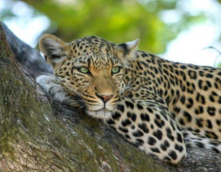 leopard-515509_1920